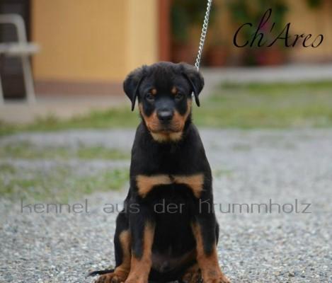 """Allevamento Rottweiler Torino , Piemonte """"aus der krummholz"""" cuccioli disponibili www.ausderkrummholz.com - cuccioli rottweiler torino piemonte"""