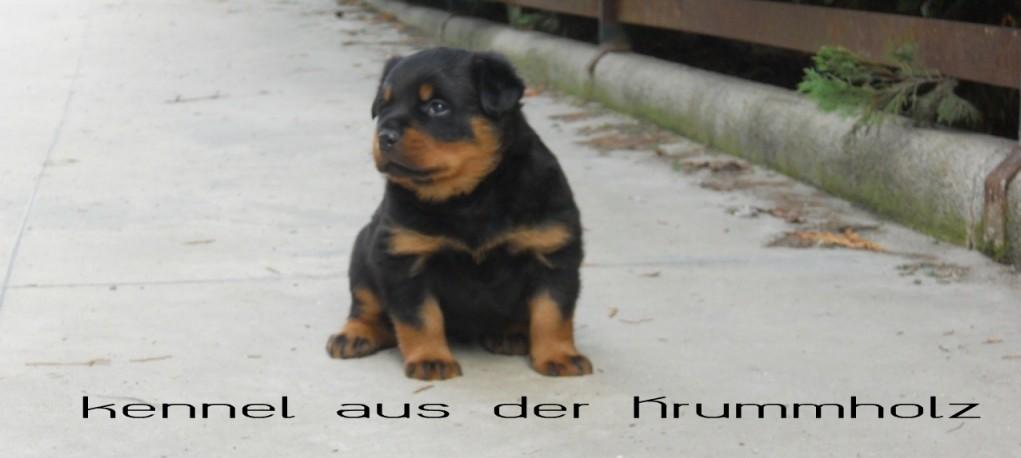 """Cuccioli Rottweiler """"aus der Krummholz"""""""