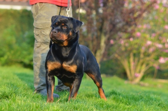 Rottweiler Cuccioli vendita Allevamento Torino