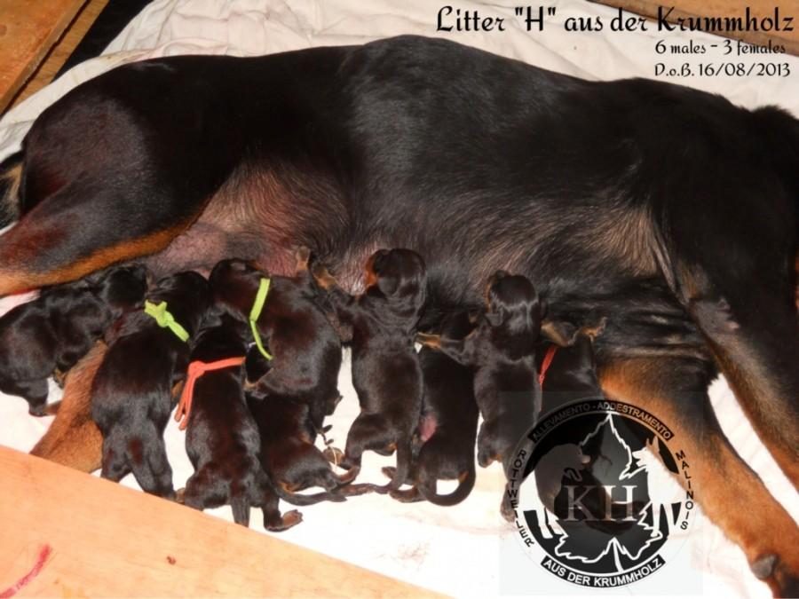cuccioli Rottweiler - Allevamento