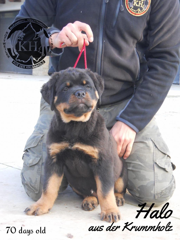 vendita cuccioli Rottweiler Allevamento Torino, Piemonte