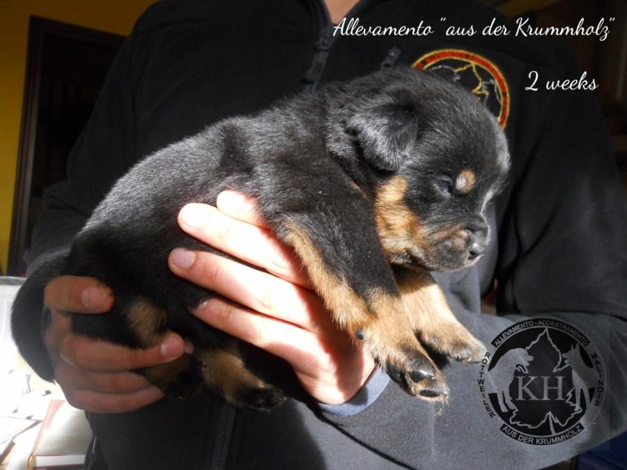 vendita cuccioli Rottweiler - Allevamento Torino, Piemonte