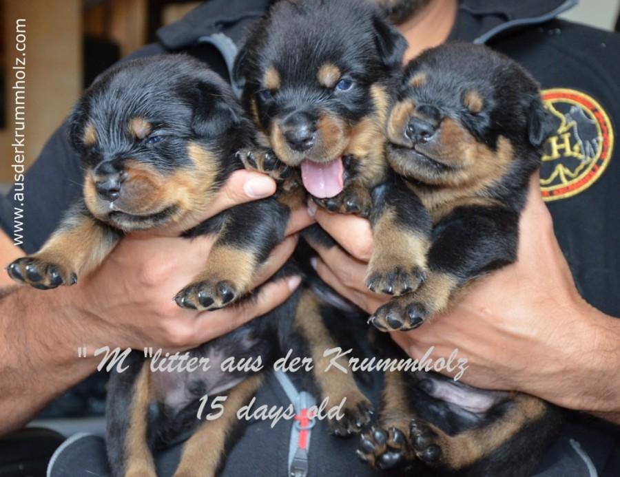 Cuccioli Duke x Yvett 15 gg 012.jpg