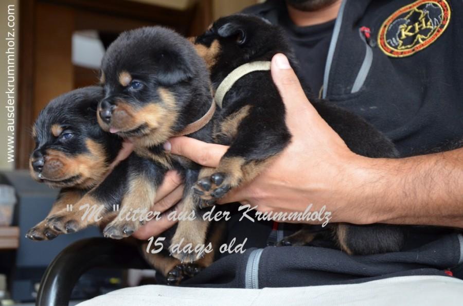 Cuccioli Duke x Yvett 15 gg 018.jpg