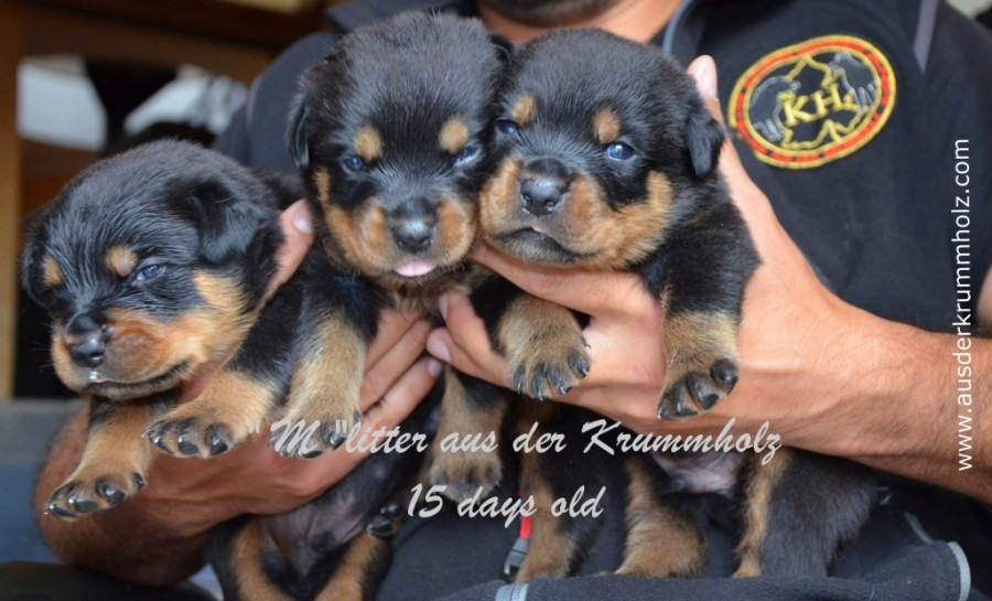 Cuccioli Duke x Yvett 15 gg 019.jpg