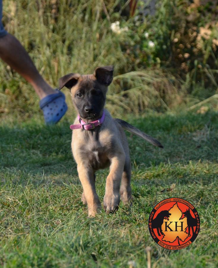 """""""aus der Krummholz"""" Addestramento cani Torino Piemonte - Allevamento Rottweiler Malinois"""