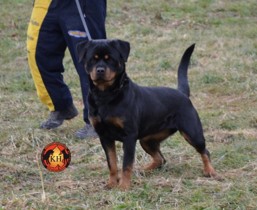 Allevamento ( Rottweiler Malinois ) Addestramento Pensione cani Torino Piemonte