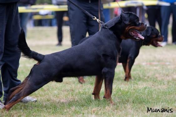 """La Tana dei Lupi – aus der Krummholz"" Allevamento( Rottweiler Malinois) Addestramento Pensione cani Torino Piemonte Centro Cinofilo"