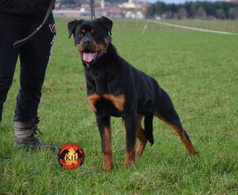 """""""La Tana dei Lupi – aus der Krummholz"""" Allevamento( Rottweiler Malinois) Addestramento Pensione cani Torino Centro Cinofilo riconosciuto E.N.C.I."""