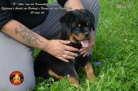 """""""La Tana dei Lupi – aus der Krummholz"""" Allevamento( Rottweiler Malinois) Addestramento Pensione cani Torino Piemonte Centro Cinofilo Professionale riconosciuto E.N.C.I."""
