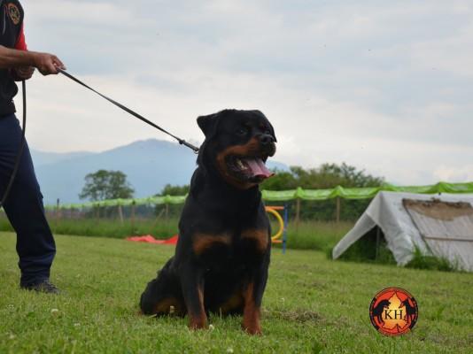 Rottweiler cuccioli vendita Allevamento Rottweiler Torino Piemonte Allevamento aus der Krummholz