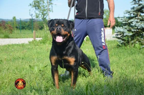 Allevamento-Rottweiler-aus-der-Krummholz-Torino-Piemonte