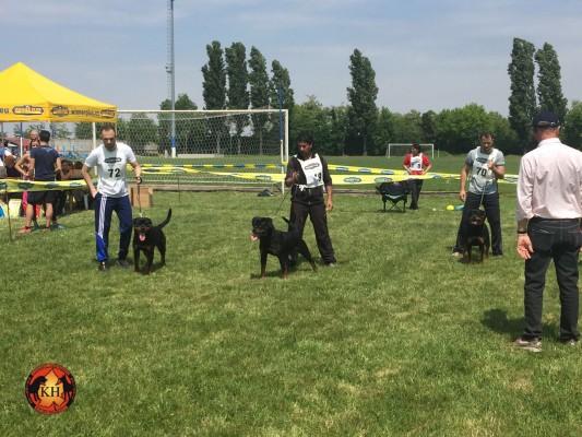 """Allevamento professionale """"aus der Krummholz"""" Rottweiler Malinois Torino, Piemonte, Ivrea,Canavese"""