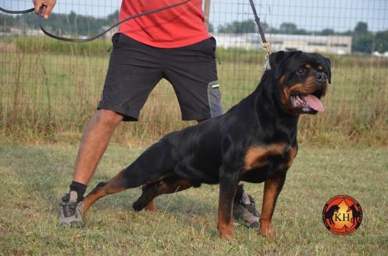Cuccioli Rottweiler vendita Allevamento Piemonte