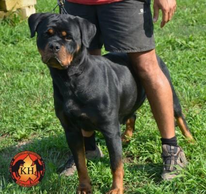 ROTTWEILER AUS DER KRUMMHOLZ MERCENASCO-Rottweiler Allevamento Torino Piemonte 2
