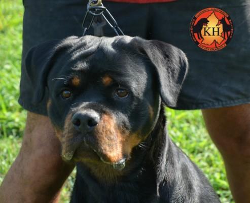 ROTTWEILER AUS DER KRUMMHOLZ MERCENASCO-Rottweiler Allevamento Torino Piemonte 4