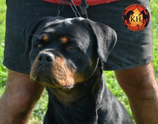 ROTTWEILER AUS DER KRUMMHOLZ MERCENASCO-Rottweiler Allevamento Torino Piemonte 5