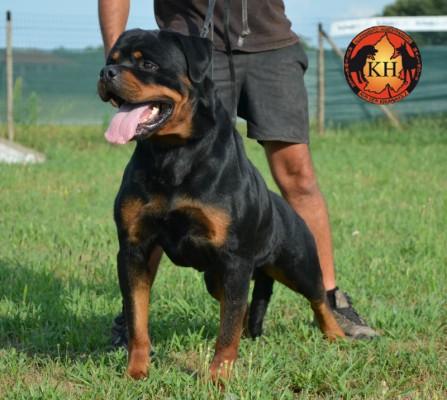 ROTTWEILER TORINO ALLEVAMENTO|Rottweiler Allevamento Piemonte|Rottweiler Perro AUS DER KRUMMHOLZ 24 mesi