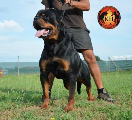 Rottweiler Allevamento Torino-Rottweiler AUS DER KRUMMHOLZ Piemonte 6