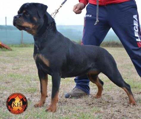 AUS DER KRUMMHOLZ Rottweiler Allevamento Piemonte 2
