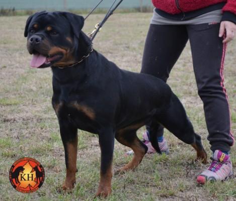 AUS DER KRUMMHOLZ Rottweiler Allevamento Piemonte 9