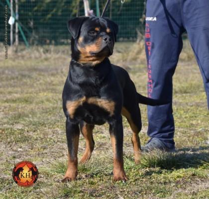 Migliore-Allevamento-Rottweiler-Torino-Piemonte