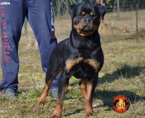 Cuccioli-Rottweiler-Allevamento-Rottweiler-aus-der-krummholz-Torino-Piemonte