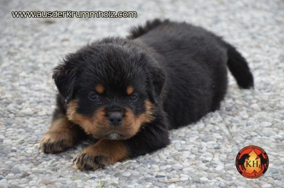 Migliori Cuccioli Rottweiler sono in vendita dal prestigioso Allevamento AUS DER KRUMMHOLZ di Mercenasco vicino Torini in Piemonte-AUS DER KRUMMHOLZ Rottweiler è la migliore fucina di splendidi Cuccioli Rottweiler di Pura Razza Rottweiler dalle linee di sangue tedesche più prestigiose