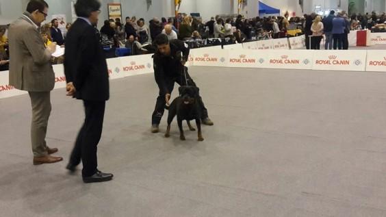 Allevamento Rottweiler aus der Krummholz Torino Piemonte Mercenasco www.ausderkrummholz  www.addestramentopensionecanitorino.it