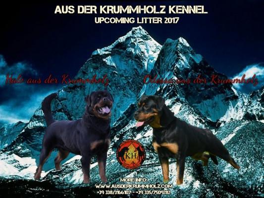 CUCCIOLI ROTTWEILER AUS DER KRUMMHOLZ VENDITA-Allevamento Rottweiler Piemonte