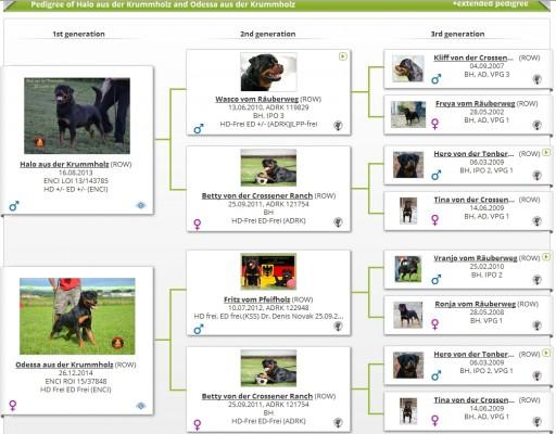 """Rottweiler Allevamento Professionale """"aus der Krummholz"""" Piemonte Torino Mercenasco"""
