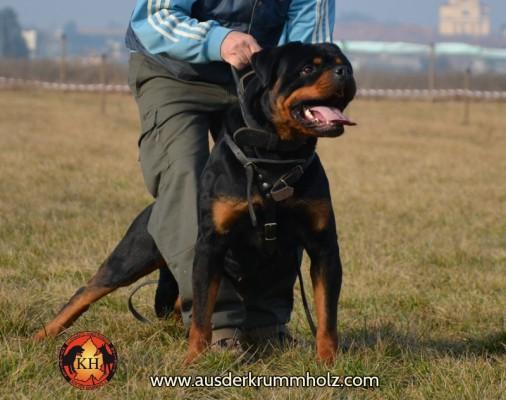 Allevamento e Addestramento Rottweiler AUS DER KRUMMHOLZ-LA TANA DEI LUPI  si trova alle porte di Torino in Piemonte dove si concentra il Migliore Rottweiler per Salute,Bellezza e Carattere
