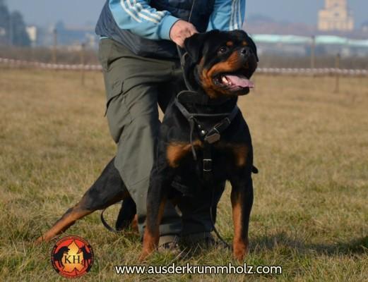 Allevamento-Rottweiler-aus-der-Krummholz-Mercenasco-Torino 040-800
