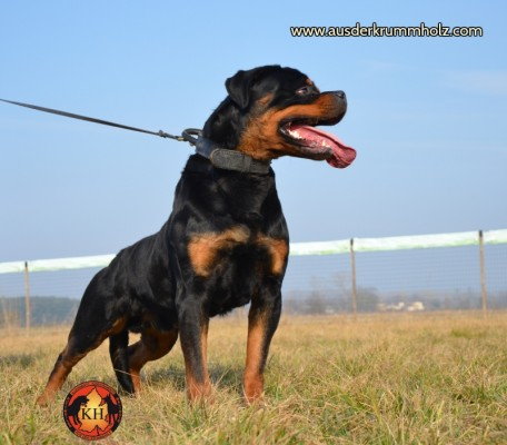 Allevamento-Rottweiler-aus-der-Krummholz-Mercenasco-Torino 073-800