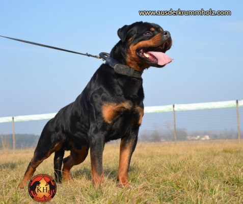 Allevamento e Addestramento Rottweiler LA TANA DEI LUPI-AUS DER KRUMMHOLZ si trova Mercenasco provincia di Torino luogo in cui si tratta Educazione del Rottweiler, educazione del Cucciolo di Rottweiler