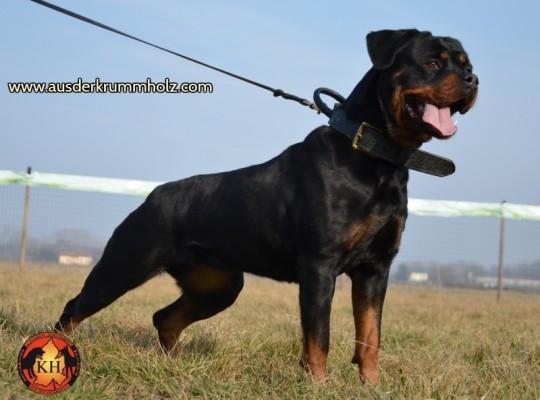 Allevamento-Rottweiler-aus-der-Krummholz-Piemonte