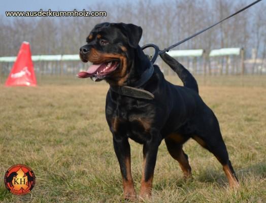 Allevamento-Rottweiler-aus-der-Krummholz-Mercenasco-Torino 254-800