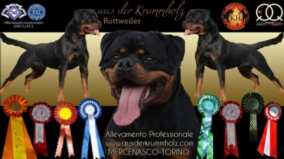 Allevamento Rottweiler AUS DER KRUMMHOLZ è un Allevamento Rottweiler riconosciuto ENCI - FCI e offre tra i propri soggetti stalloni di fama internazionale guadagnandosi sempre i primi posti in classifica nelle Esposizioni Rottweiler e nei Raduni di razza Rottweiler