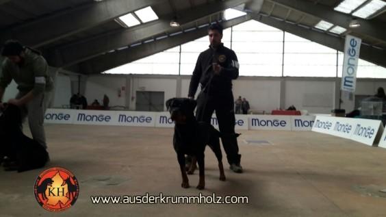 Rottweiler-AUS-DER-KRUMMHOLZ-Allevemento-Torino-Piemonte 1