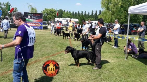 Migliore Allevamento Rottweiler Torino Piemonte-AUS DER KRUMMHOLZ Rottweiler Allevamento Mercenasco Torino 3