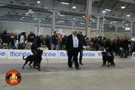 Migliore Allevamento Rottweiler Torino Piemonte-AUS DER KRUMMHOLZ Rottweiler Mercenasco Torino 1