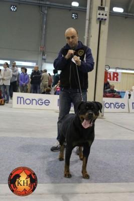 Migliore Allevamento Rottweiler Torino Piemonte-AUS DER KRUMMHOLZ Rottweiler Mercenasco Torino 5