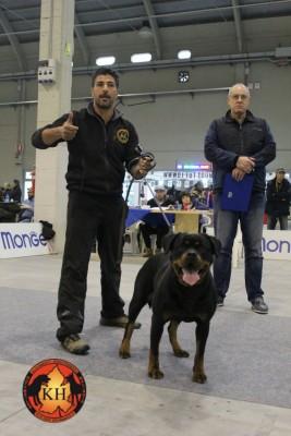 Migliore Allevamento Rottweiler Torino Piemonte-AUS DER KRUMMHOLZ Rottweiler Mercenasco Torino 9