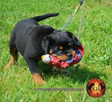 Migliore Allevamento Rottweiler Torino Piemonte-Rottweiler AUS DER KRUMMHOLZ Mercenasco Torino 1