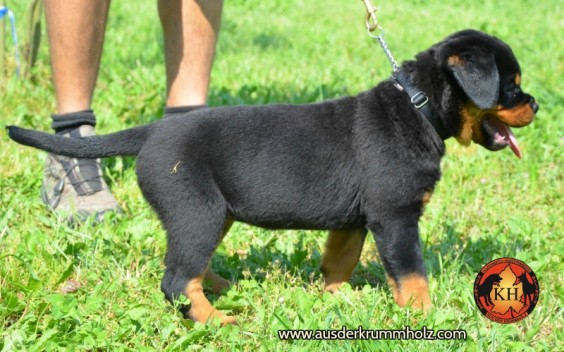 Migliore Allevamento Rottweiler Torino Piemonte-Rottweiler AUS DER KRUMMHOLZ Mercenasco Torino 2
