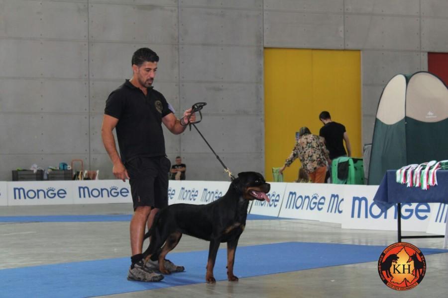 AUS DER KRUMMHOLZ Rottweiler Mercenasco Torino-Migliore Allevamento Rottweiler Torino Piemonte 2