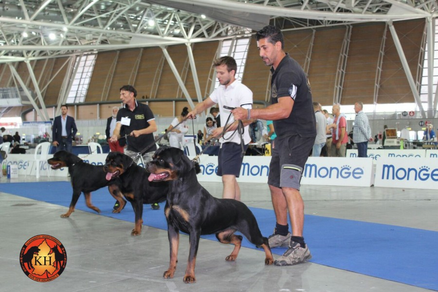 AUS DER KRUMMHOLZ Rottweiler Mercenasco Torino-Migliore Allevamento Rottweiler Torino Piemonte 3