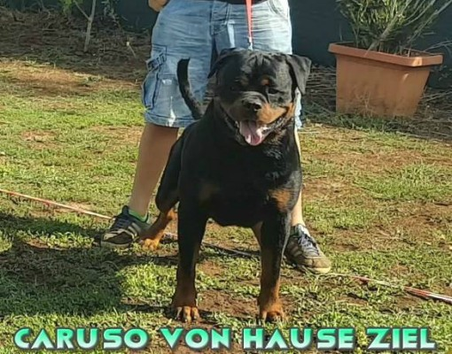 ROTTWEILER AUS DER KRUMMHOLZ MERCENASCO-Rottweiler Allevamento Torino Piemonte ....