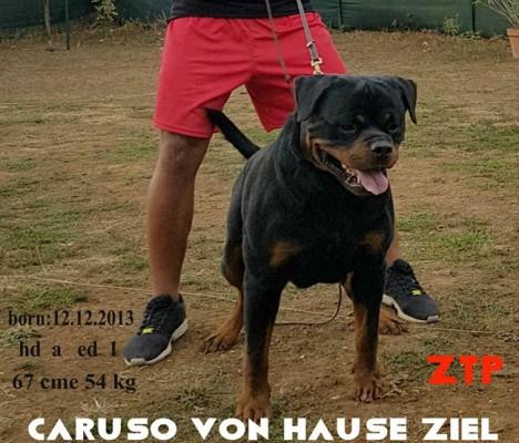 ROTTWEILER AUS DER KRUMMHOLZ MERCENASCO-Rottweiler Allevamento Torino Piemonte ............