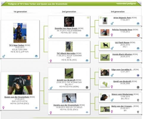 ROTTWEILER CUCCIOLI ALLEVAMENTO TORINO PIEMONTE-Rottweiler AUS DER KRUMMHOLZ Mercenasco Torino -